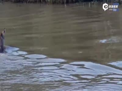 实拍羚羊湖中遭鳄鱼追捕 最后时刻上岸躲过