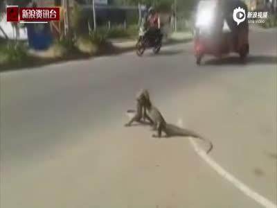 实拍两只大蜥蜴路中激斗 频发大招如摔角手