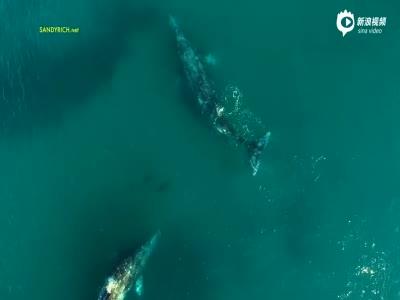 绝美航拍:巨型灰鲸与宽吻海豚一同畅游