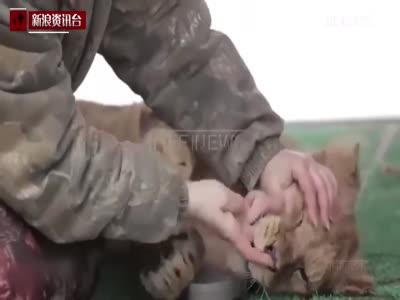实拍俄饲养员上街遛狮子 5岁男童被扑倒拖拽