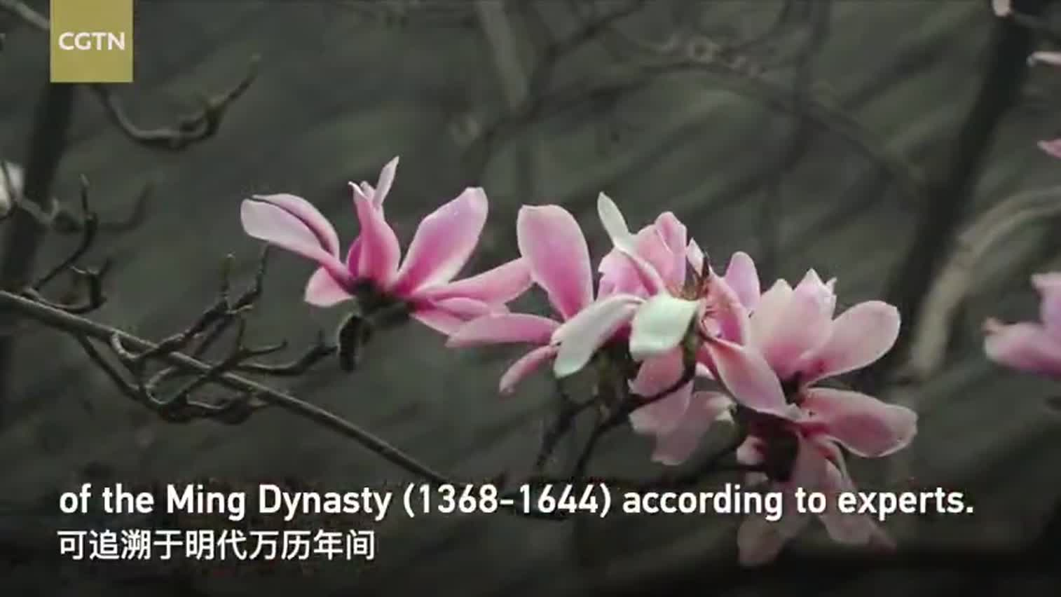 视频|世界上唯一一棵400余岁古旱莲如期盛开