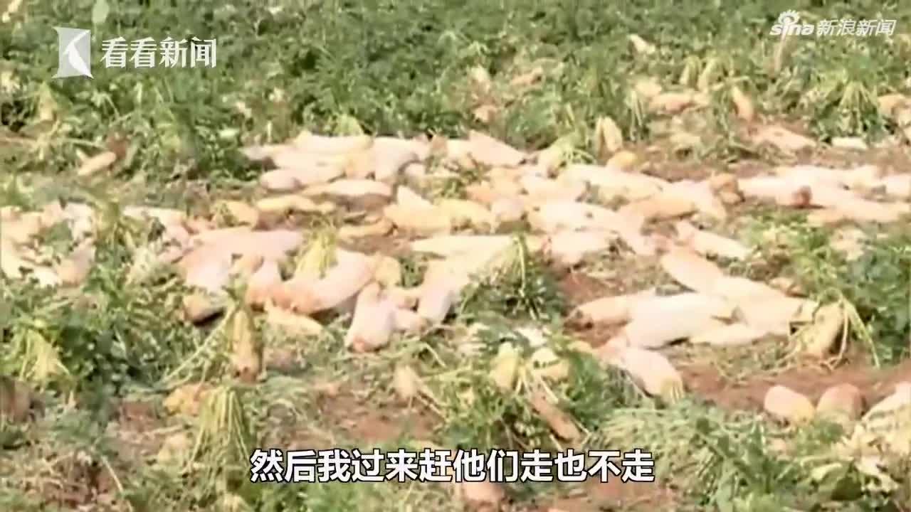 视频|免费?他们听信谣言扎堆拔萝卜 种植户损失2