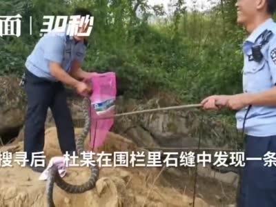 """30秒   村民家中禽蛋频频被盗 """"小偷""""竟是8斤重大蛇"""