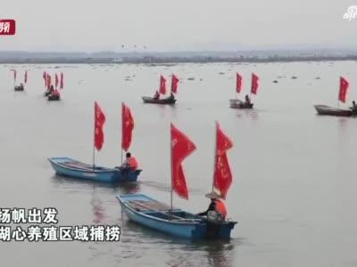 阳澄湖大闸蟹开捕:节前上市 品格和规格相比往年更好