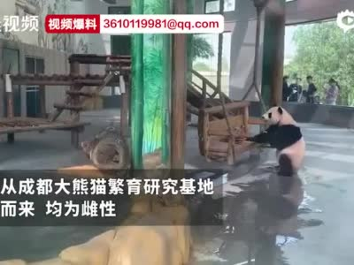 """大熊猫""""青青""""和""""大美""""空降长沙生态动物园"""