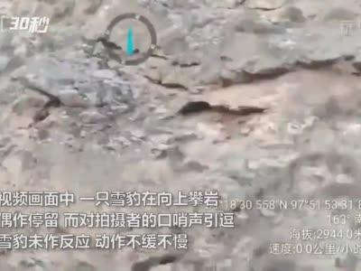 30秒丨又见雪豹!祁连山国家公园内近距离拍到雪豹攀岩场景