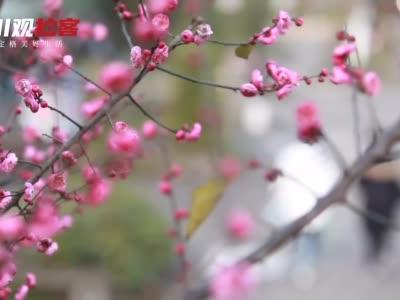 拍客丨南溪梅花绽放迎新春