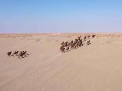 """【视频】甘肃:野骆驼""""组团""""奔跑"""