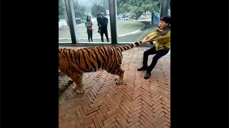 """贵阳野生动物园饲养员""""虐虎"""" 园方:是嬉戏"""